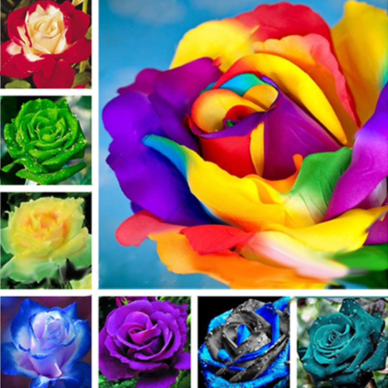 Шт Красочные Редкий Роза Семена Сад DIY Цветочные Бонсай Многолетние растения Семена