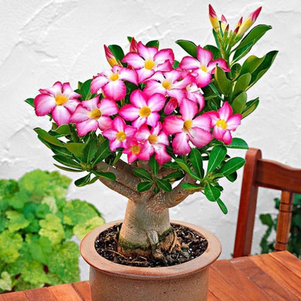 ШТ. Подлинная Adenium Obesum Desert Rose Семена Цветочный Бонсай Растение DIY Домашняя Grden Семена